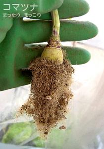コマツナの根