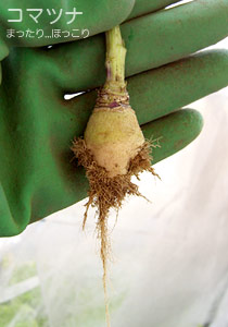 コマツナはこんなところから根が生えているんですね