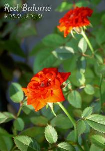 秋のレッドバローム