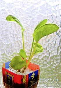 ペットボトル水耕栽培のコマツナ