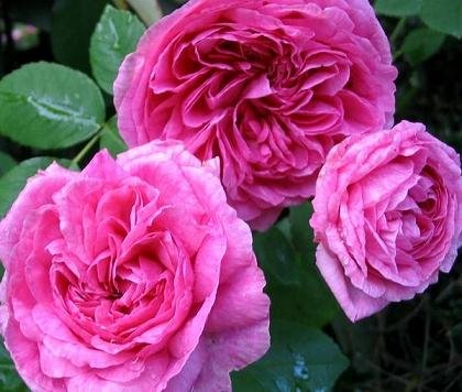 130712-07_gertrude-jeckyll-rose.jpg