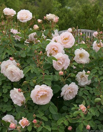 rose 'prety lady'